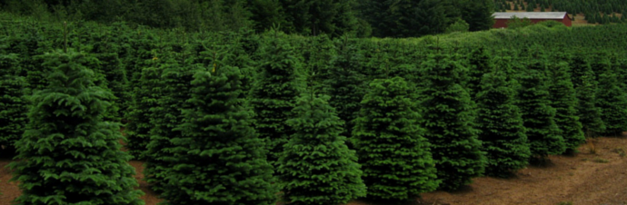 Christmas Tree Farms in Ann Arbor